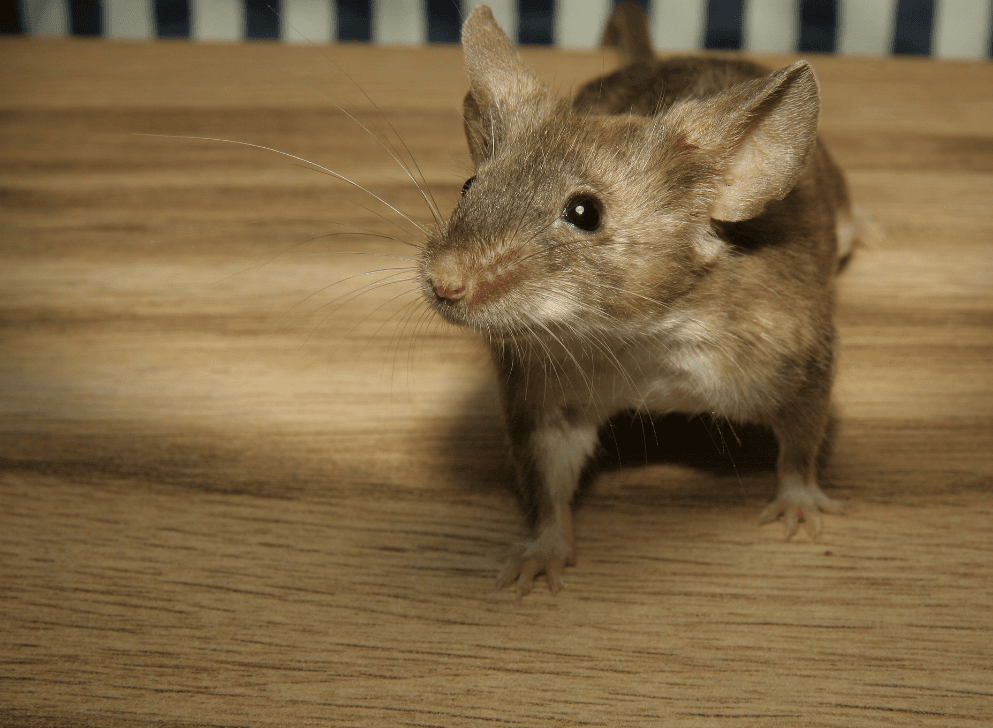 Rodent on hardwood floor